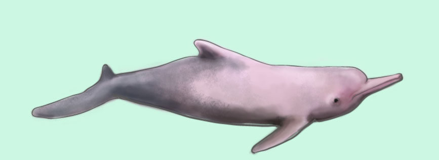 What does the Bolivian Amazon River dolphin look like?